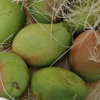 Mango BIO - Sicilia Avocado