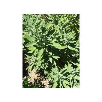Salvia - Le Piante Aromatiche