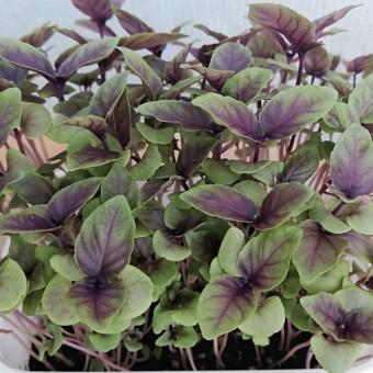 Micro ortaggi (Basilico Violetto) - Fidolio